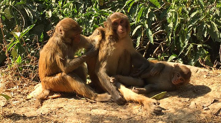 ネパール 猿