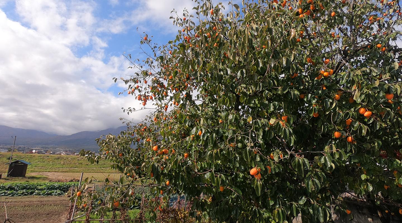 安曇野 柿の木